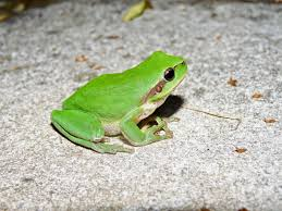 a glimpse of hyla meridionalis the mediterranean tree frog a