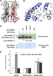 stress induced gsk3 regulates the redox stress response by