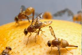 How To Get Rid Of Bugs In Kitchen Cabinets How To Get Rid Of Fruit Flies Naturally Small Footprint Family
