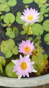 Lily Plant Lily Pond Store Water Lilies Lotus U0026 Aquatic Plants Home