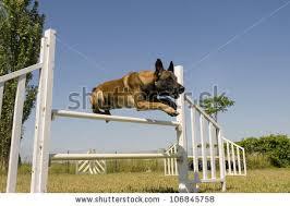 training a belgian sheepdog cute farm goat stock photo 131443508 shutterstock