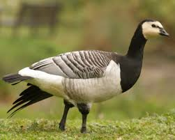 barnacle geese purely poultry