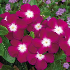vinca flower pacifica burgundy halo vinca flower seeds