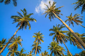 picture of palm trees sky free stock photo