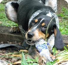 bluetick coonhound dog hank adopted dog dallas tx bluetick coonhound