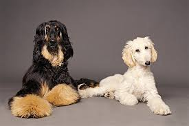 afghan hound club of america afghan hound dog breed information pictures characteristics