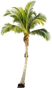 palm tree png images free pictures