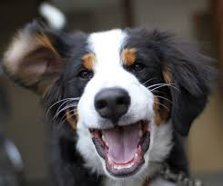australian shepherd emoji 23 reasons bernese mountain dogs are the champions of our hearts