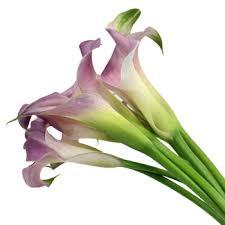 Calla Lily Flower Blush Mini Calla Lily Flower
