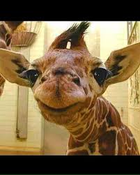 Giraffe Hat Meme - meme template search imgflip