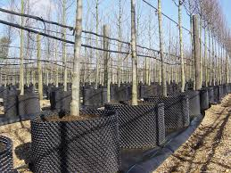 air pot container grown trees hedging and topiary