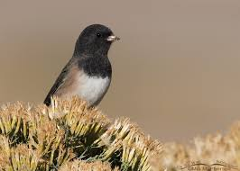 Oregon birds images Snow birds dark eyed juncos mia mcpherson 39 s on the wing jpg
