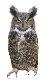 horned owl clipart transparent background pencil and in color