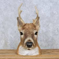 whitetail deer head mount for sale 13960 the taxidermy store