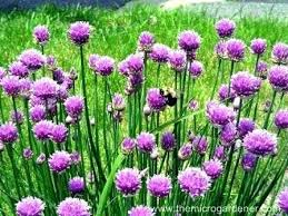 purple flowering garlic plant bestespressomachines club