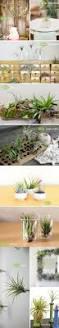 115 best tillandsias images on pinterest air plants air plant