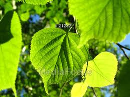 fresh green leaf linden tree glowing in sunlight stock photo