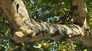 when this tree sheds it s bark it looks like camouflage imgur