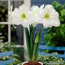 gift amaryllis bulb american