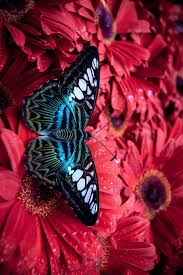 cracker butterflies are a neotropical group of medium sized brush