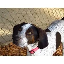 bluetick coonhound louisville ky bluetick coonhound for adoption