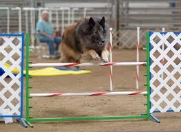 belgian sheepdog agility file belgian tervuren agility jump2 jpg wikimedia commons