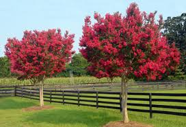 tonto crape myrtle for sale fast growing trees