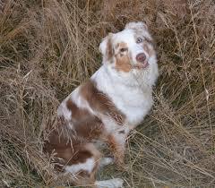 triple h australian shepherds australian shepherd akc aussie puppies 2014 litter box