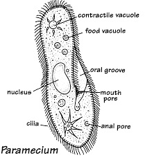 euglena cell diagram database wiring diagram
