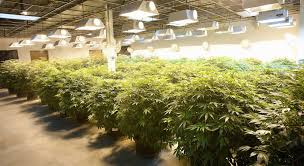 cheap grow lights for weed lec vs hps lighting which is better for your grow woahstork learn