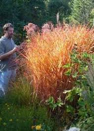 hardiness of ornamental grasses willows