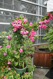 mandevilla propagation how to propagate mandevilla from seeds or