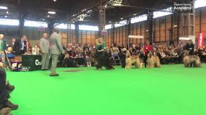 afghan hound national 2014 crufts 2014 afghan dog challenge youtube