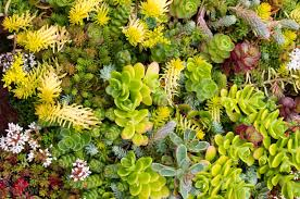 roof garden plants top 10 plants for a living roof inhabitat green design