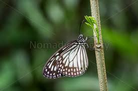 white tiger butterfly danaus melanippus stock photo