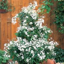 Fragrant Jasmine Plant - buy jasminum officinale plants j parker dutch bulbs