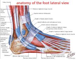 Anatomy Of The Calcaneus Anatomy Of The Foot Diagram Of Bones Ankle Muscle Bottom