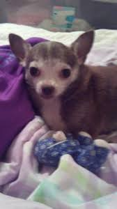 a chihuahua owner u0027s guide to seizure disorders i love my chi