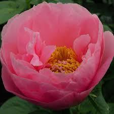 pink peonies nursery which peony varieties do you grow in the peony nursery