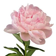 Peonies Flower Peony Flowers In December Wholesale Bulk Flowers Fiftyflowers