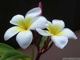 plumeria flower plumeria flower wallpapers 2 frankenstein