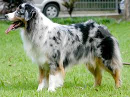 australian shepherd dog puppies australian shepherd dog breeders breed clubs and rescue