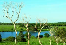 manzanita branches dried manzanita branches sandblasted bulk manzanita trees