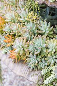 succulents meaning beautiful succulent photos from jeanne meadow u0027s garden