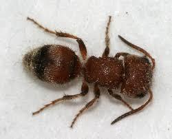 Ants In Backyard Small Velvet Ant The Backyard Arthropod Project