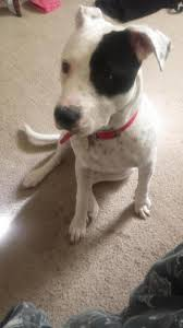 american pitbull terrier 7 months 7 8 month old female american pitbull terrier pitbulls go