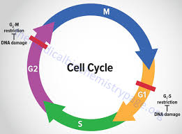 the eukaryotic cell cycle