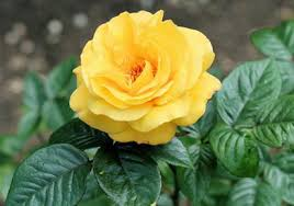 yellow roses with tips yellow plant gardening tips kerala news kerala