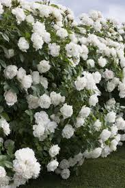 best 25 tall shrubs ideas on pinterest shrubs evergreen shrubs