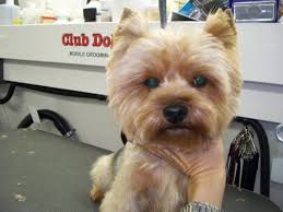 types of yorkie haircuts pictures club doggie mobile grooming salon photo gallery
